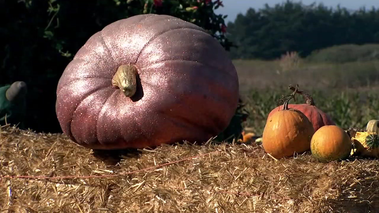 This undated image shows pumpkins at a farm in Half Moon Bay, Calif.