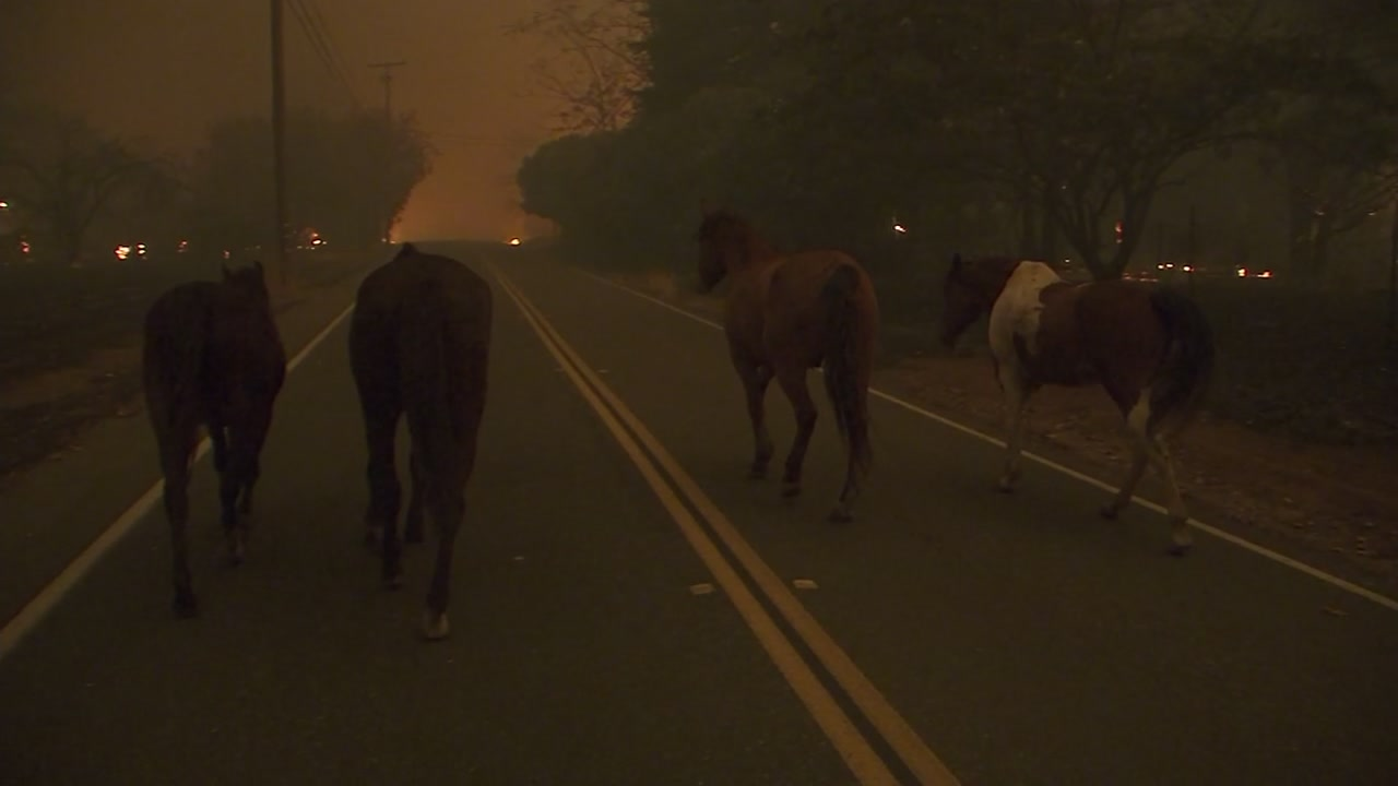 Horses flee a fast-moving fire in Paradise, Calif. on Thursday, Nov. 8, 2018.