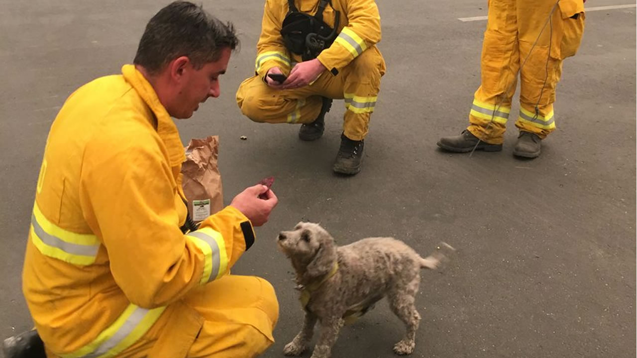 Camp the dog is fed beef jerky by San Mateo firefighters in Paradise, Calif.