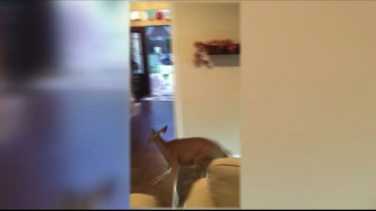 A deer broke into a home in Houston.