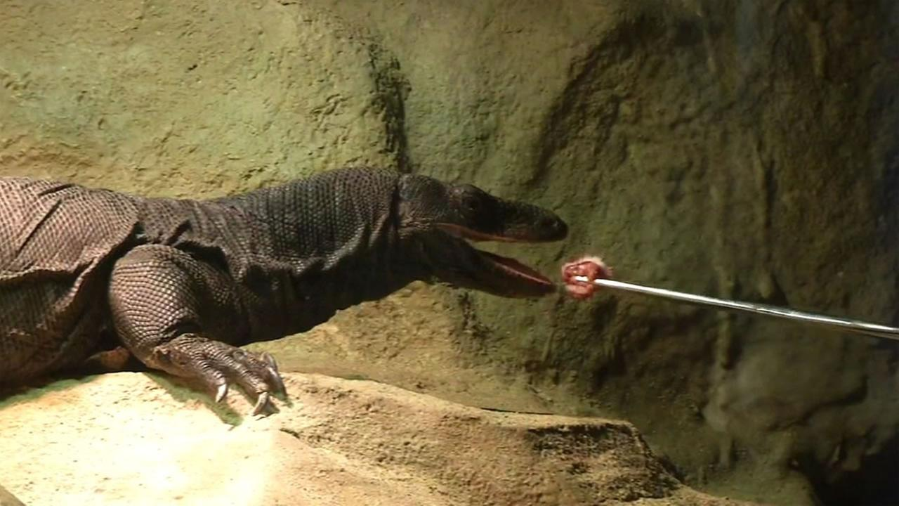 This undated image shows a monitor lizard getting trained at the California Academy of Sciences in San Francisco.