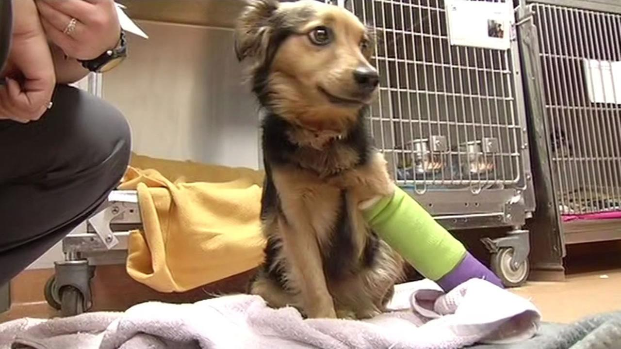 An injured Australian shepherd was found near Highway 4 in Brentwood, Calif. is now recovering at the Contra Costa Animal Services January 6, 2015.