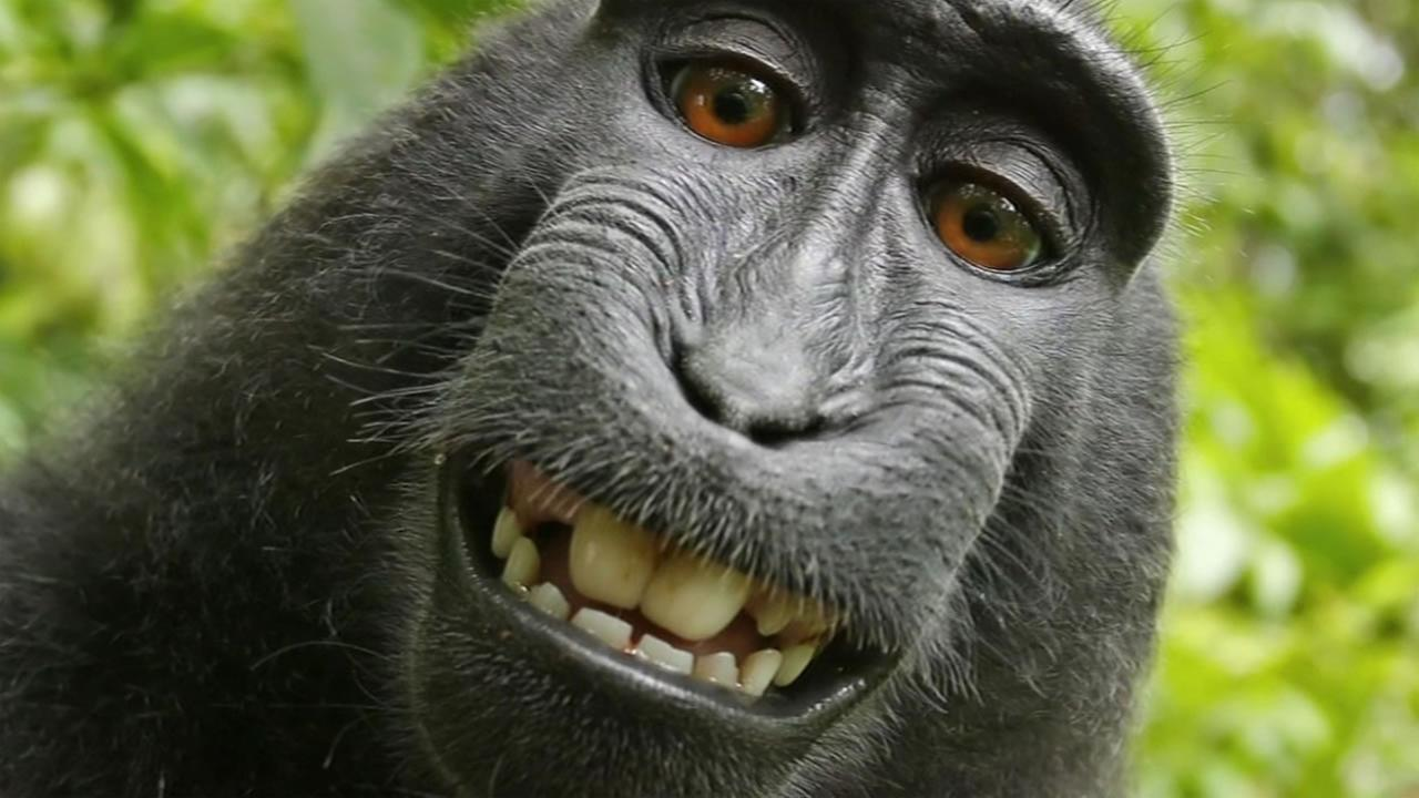 Naruto, a crested macaque monkey, took a selfie with a wildlife photographers camera.
