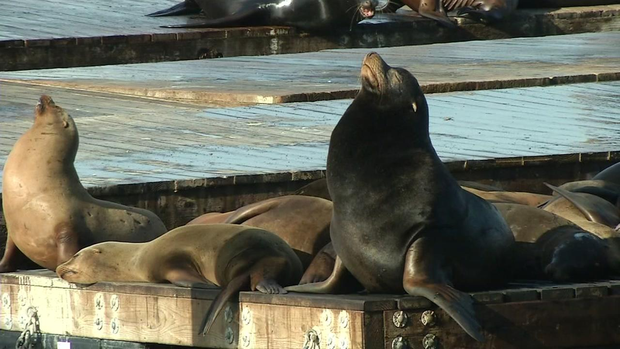 Sea Lions are seen on a dock at Pier 39 in San Francisco on Friday, January 15, 2016.