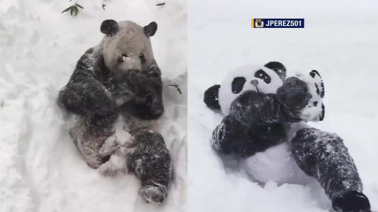 Jeffrey Perez dressed in his panda suit and challenged actual giant panda bear Tian Tian to a snow battle on Saturday, January 24, 2016.