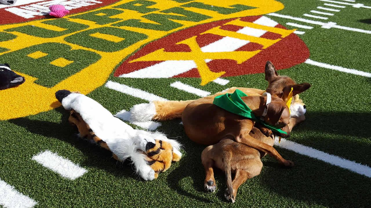 Two puppies play at Animal Planets Puppy Bowl Cafe in San Francisco on Friday, February 5, 2016.