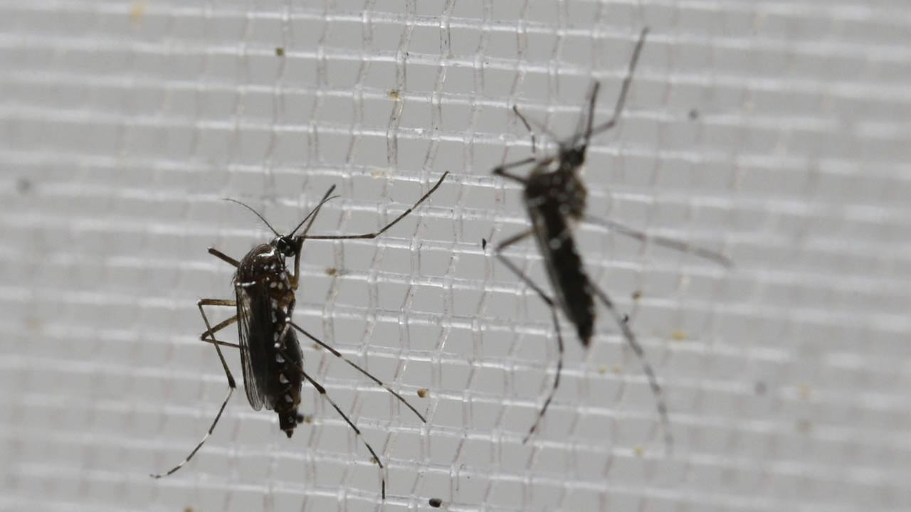 Aedes aegypti mosquitoes to be tested for various diseases perch inside a container at the Gorgas Memorial Laboratory in Panama City, Thursday, Feb. 4, 2016.