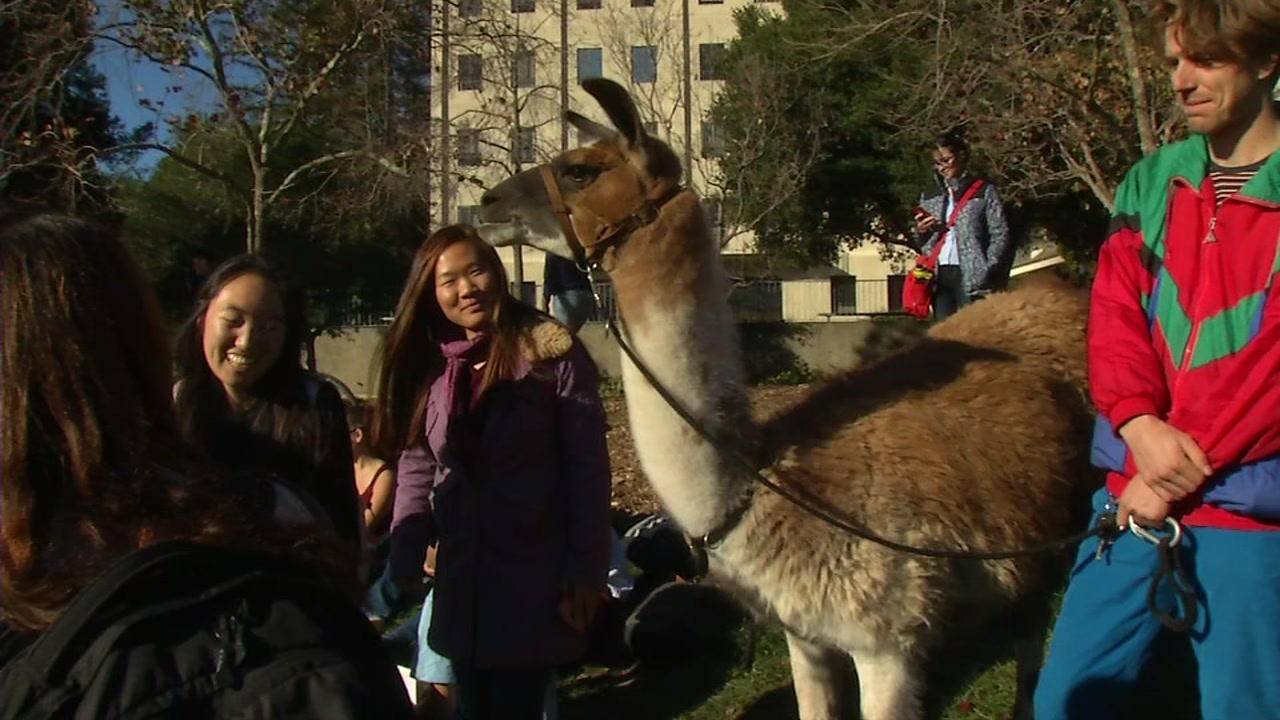 Students gather around a llama at UC Berkeley on Dec. 3, 2018.