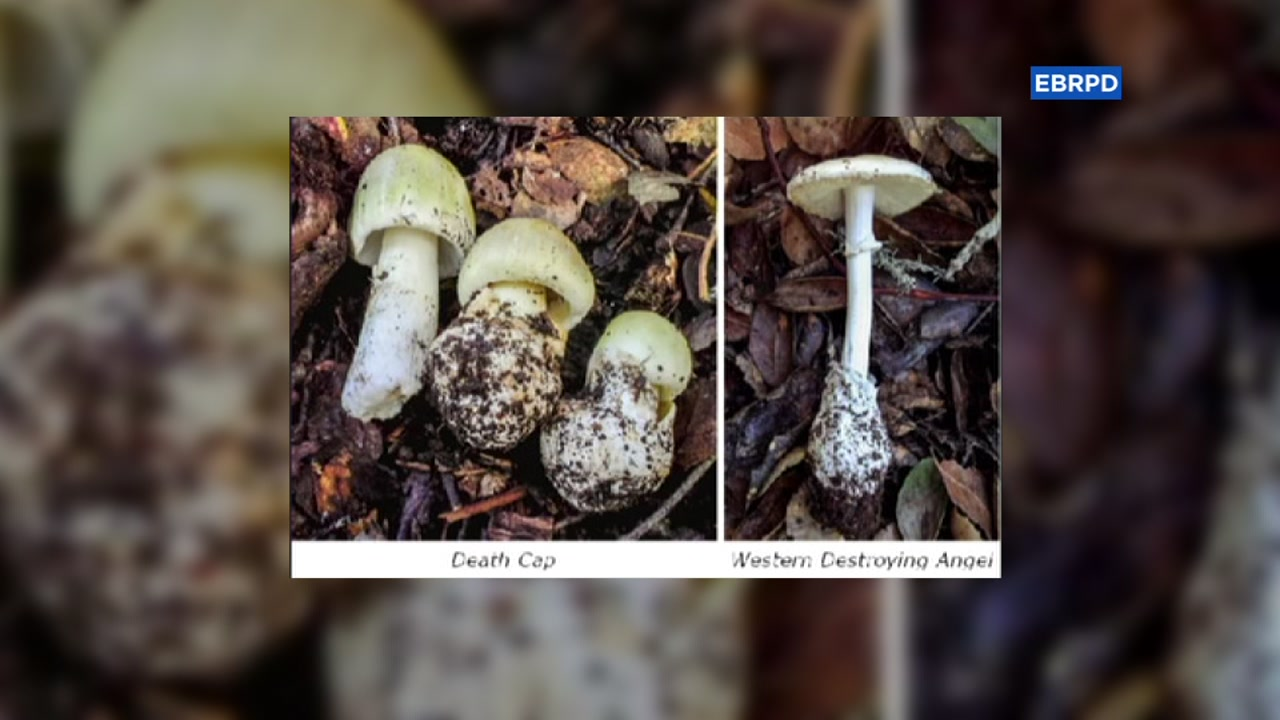Death Cap and Western Destroying Angel mushrooms are seen in this undated image.
