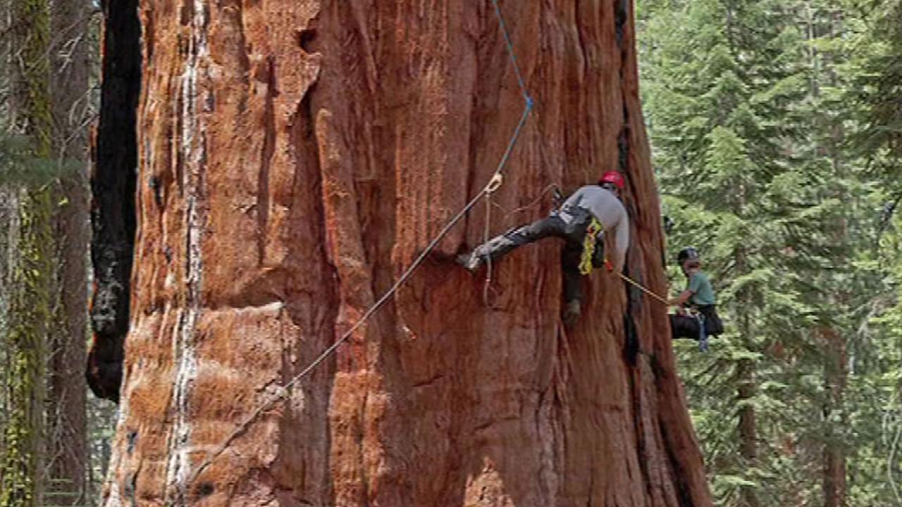 This undated image shows UC Berkeley scientists examining the effects of the drought on the states giant sequoias.