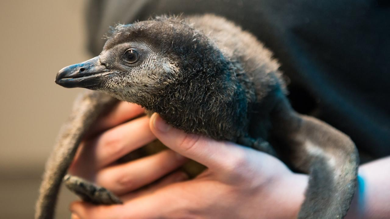 Biologists from the California Academy of Sciences hold a new African penguin chick that recently hatched as part of the aquariums Species Survival Plan program Feb. 18, 2016.