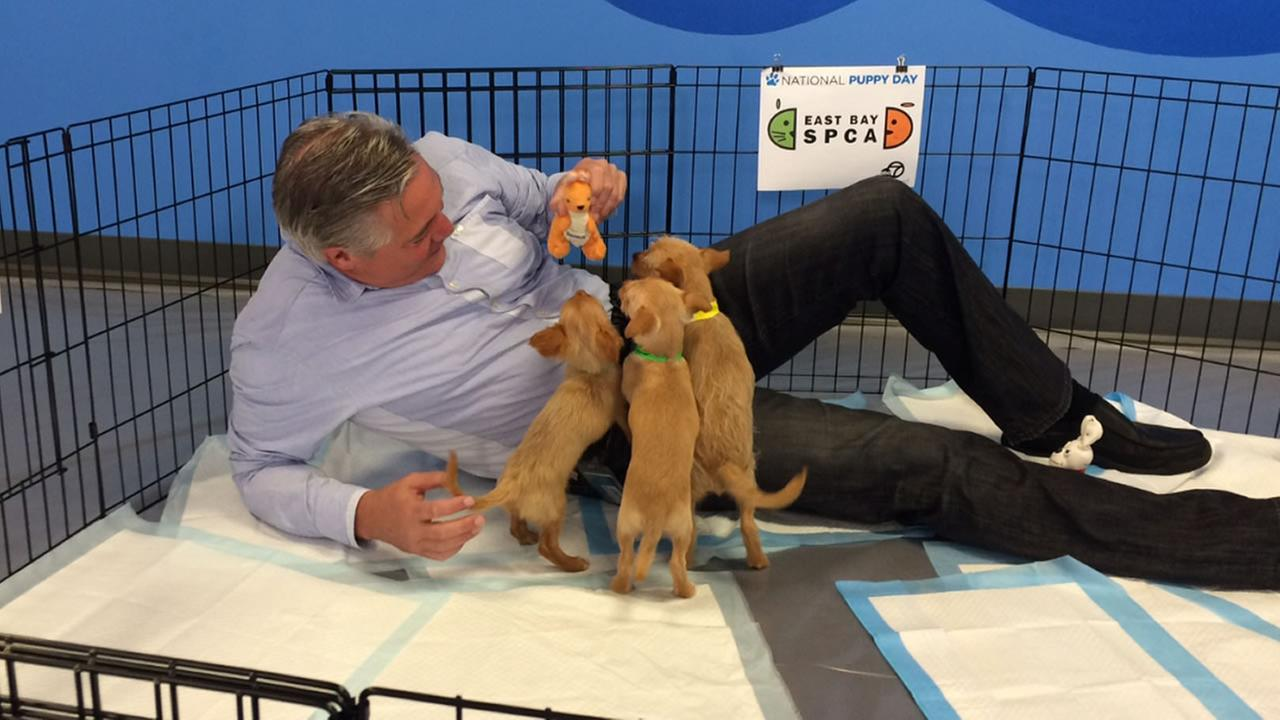 Dan Noyes is absolutely loving having all of these puppies from East Bay SPCA crawling all over him!