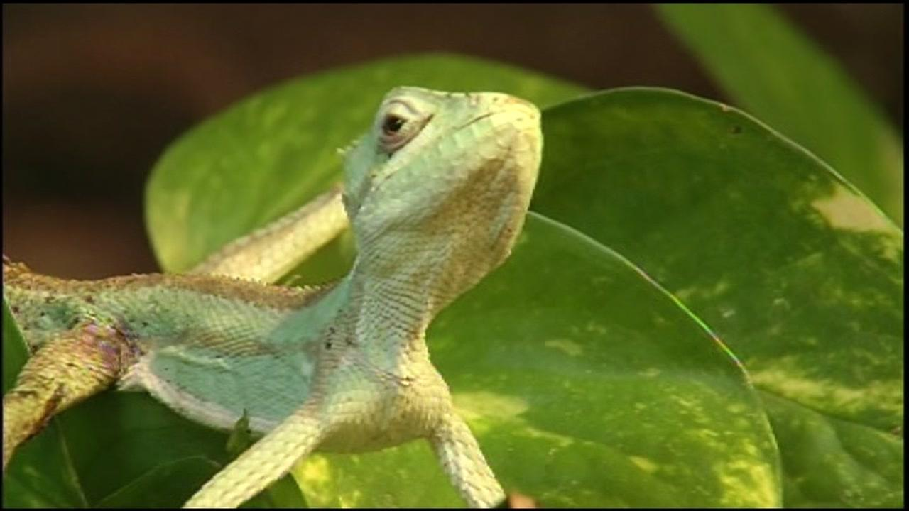 This image shows an iguana that rescued and is now thriving at Oakland Zoo, March 29, 2016.