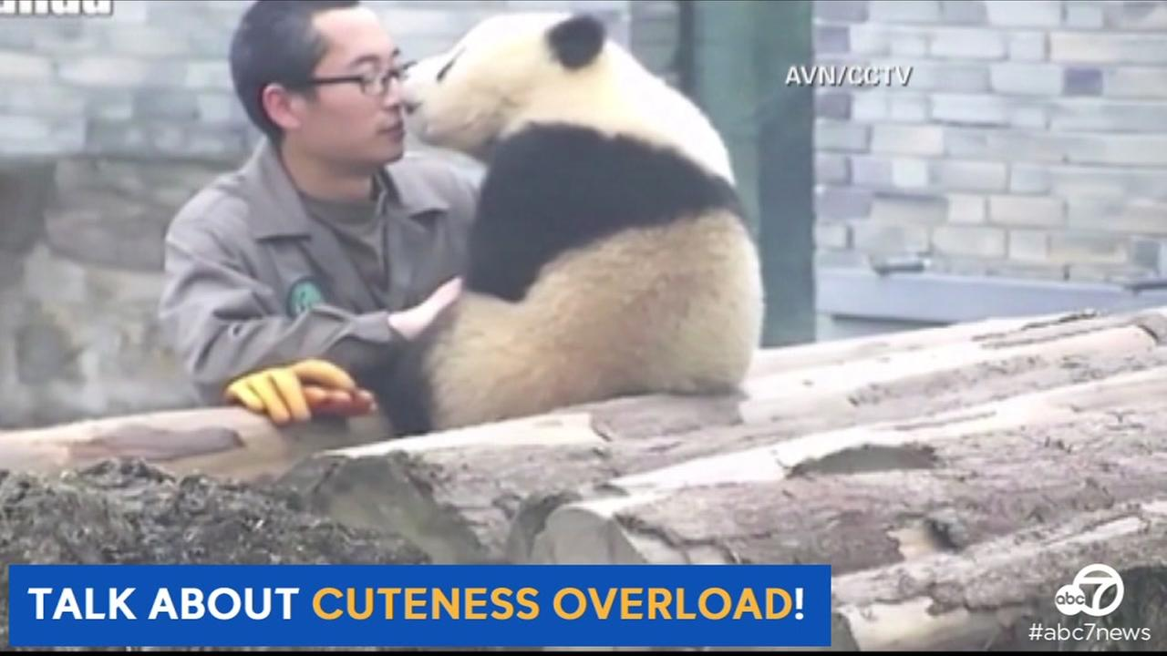 A giant panda cub named Manyuemei at Dujiangyans Giant Panda Conservation and Research Center in Chengdu, China is seen with his human foster dad on Monday, March 28, 2016.