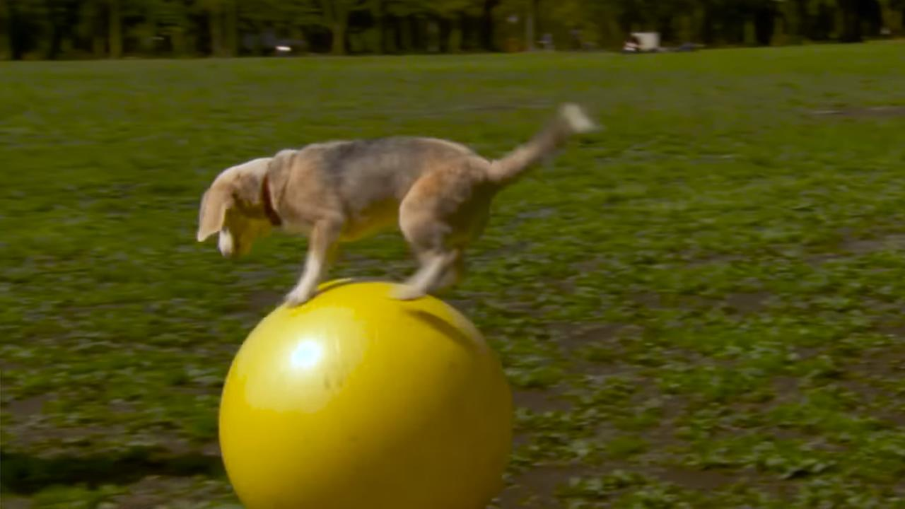 In March 2016, Purin the beagle set a Guinness World Record for the fastest 10 yards traveled on a ball by a dog.