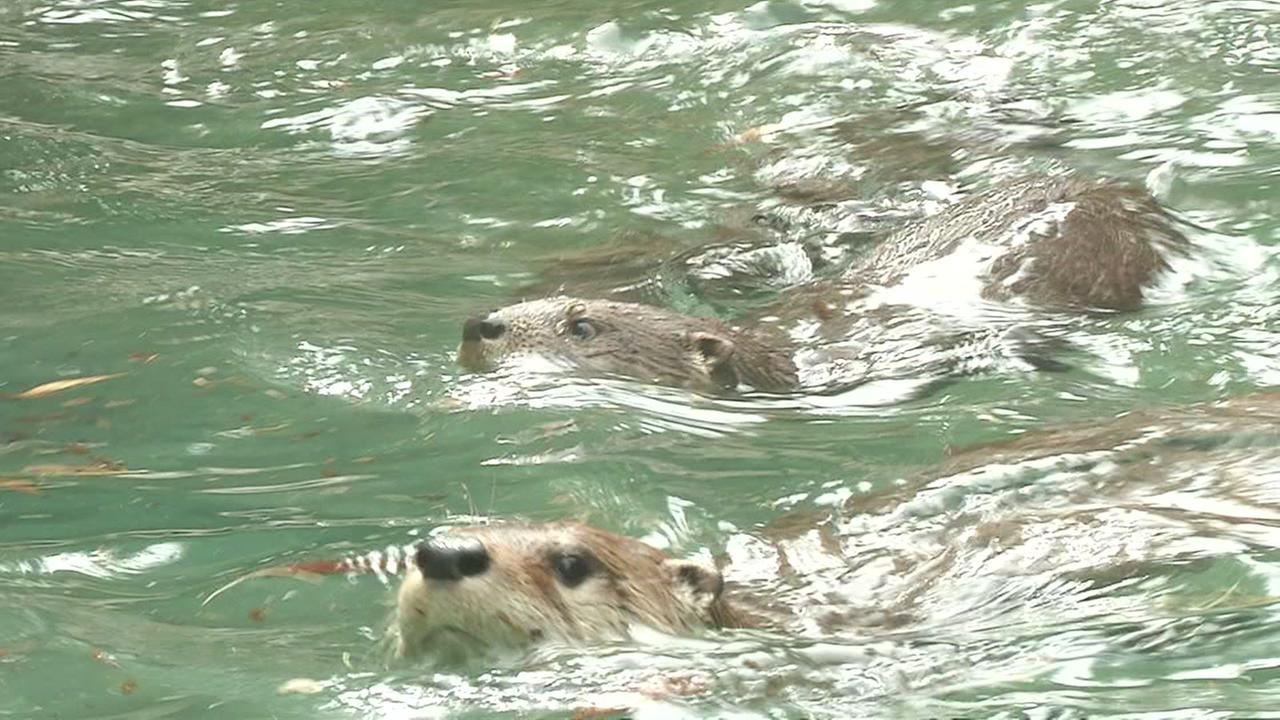 This image shows sea otters swimming at the Oakland Zoo in Oakland, Calif. on May 4, 2016.