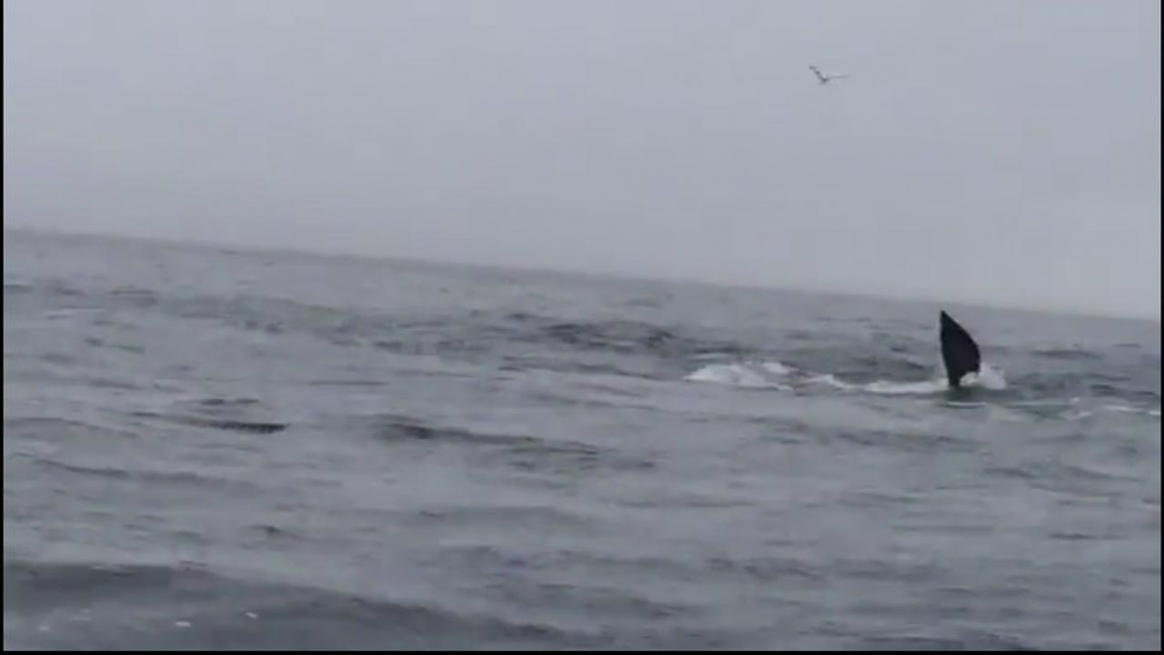 Two fishermen captured video of two orcas attacking a gray whale calf off the coast of Carmet, Calif. on Saturday, May 14, 2016.