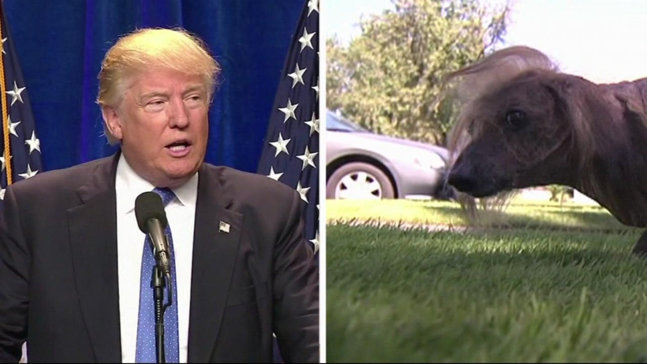 These undated images show Donald Trump and an entrant into Sonoma-Marin Fairs Ugliest Dog contest, named Him-Is-A-Boo.
