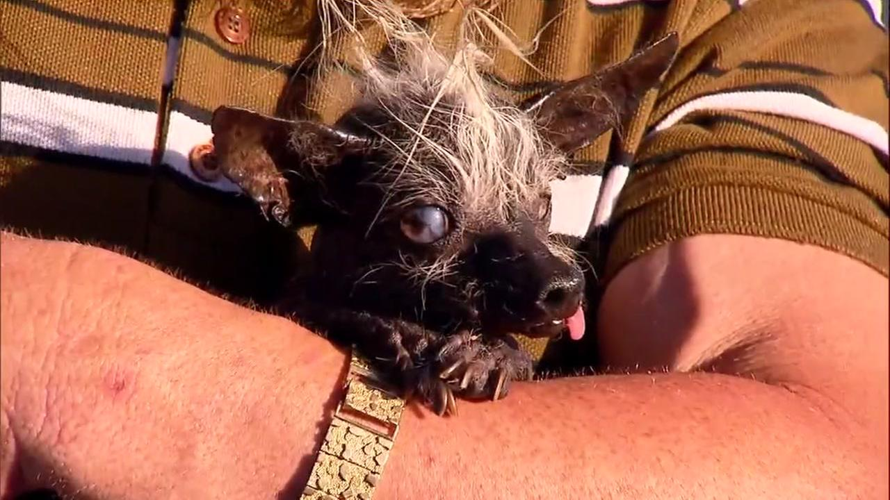 This image shows Swee Pee Rambo, a 17-year-old Chihuahua, Chinese crested mix who was just crowned the Worlds Ugliest Dog on June 24, 2016.