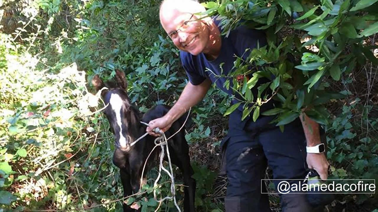The Alameda County Fire Department rescued a pony on Wednesday, August 10, 29016, in Castro Valley, Calif.