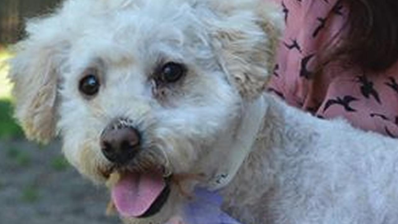 This undated photo shows Mozzarella, a poodle mix found abandoned in a dumpster behind a Safeway in Mill Valley, Calif.