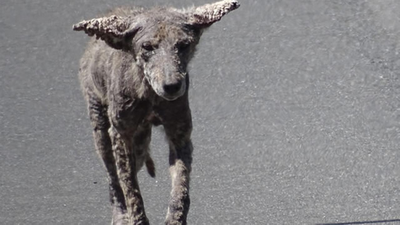 A coyote spotted in Danville, Calif. suffering from a severe case of mange is seen in this undated image.