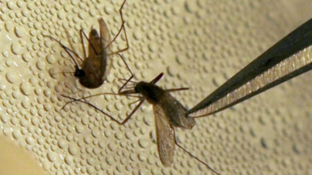 A mosquito is sorted according to species and gender before testing at the Dallas County mosquito lab in Dallas, Friday, May 11, 2007.