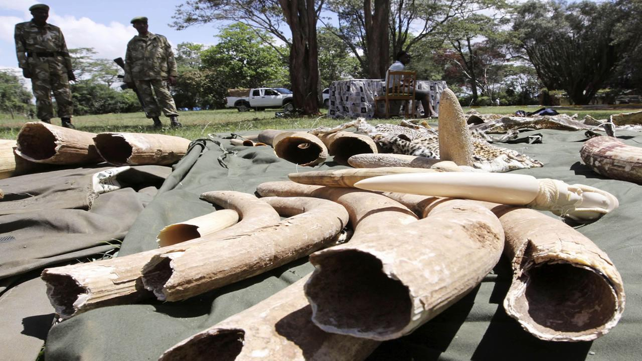 In this file photo of Monday, Nov. 30, 2009, security officials from Kenyatta International airport, Nairobi, Kenya, display elephant tusks which were seized at the airport.
