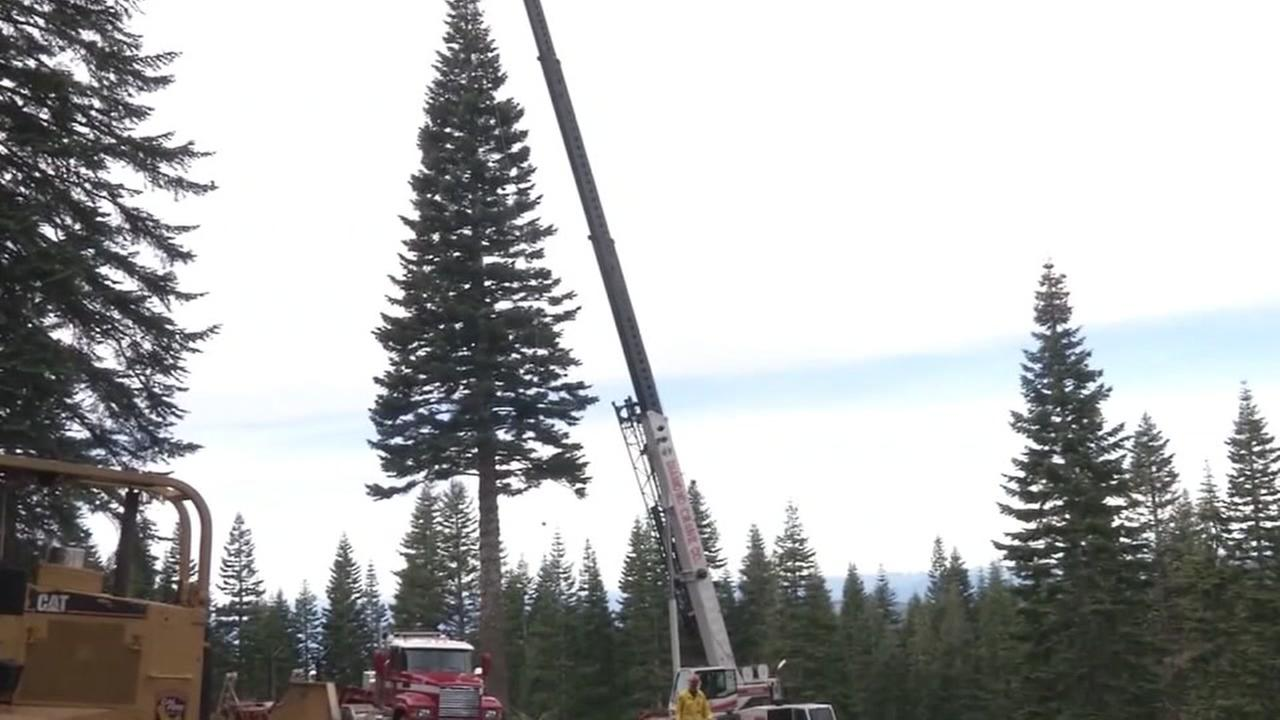 This is an undated image of the holiday tree to be used at Calfiornias State Capitol.