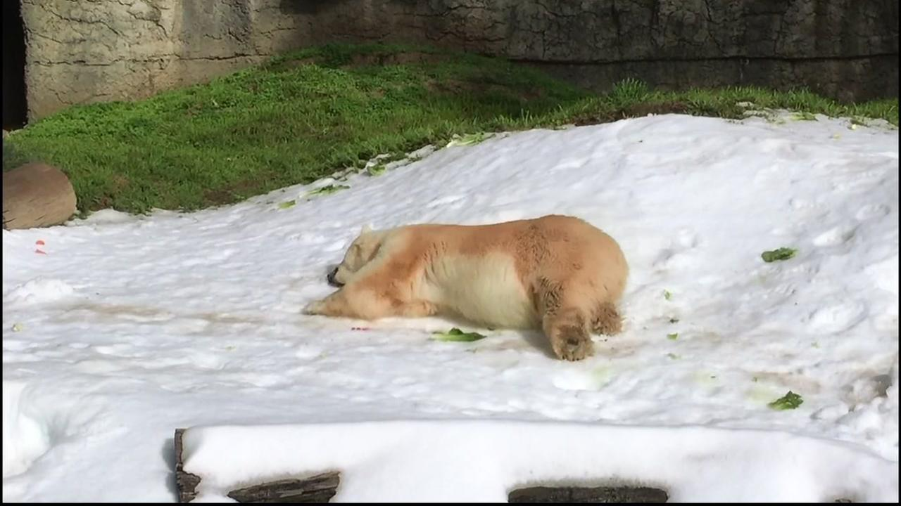 This image shows a polar bear at the San Francisco Zoo enjoying the snow.