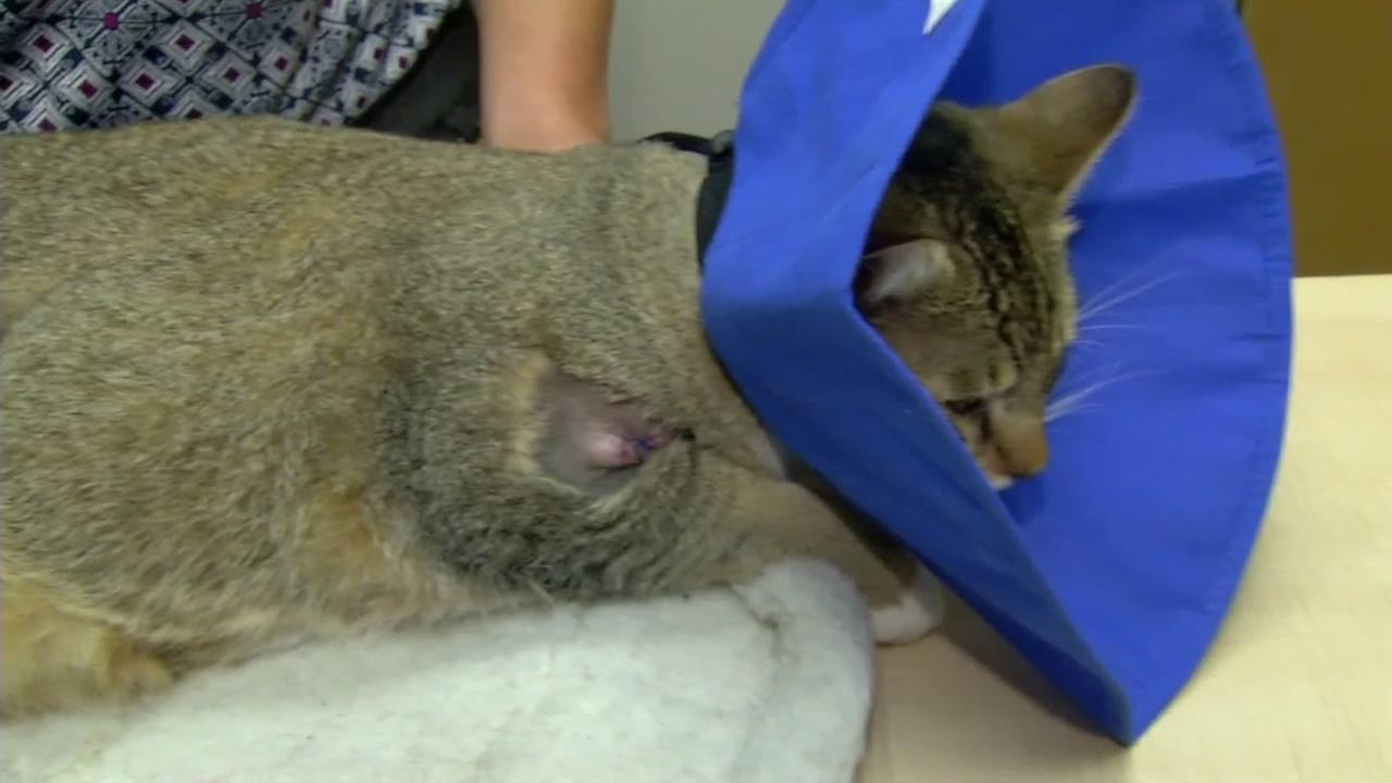 This image shows Cabo the cat who was injured when he was by a BB gun in Oakland, Calif.