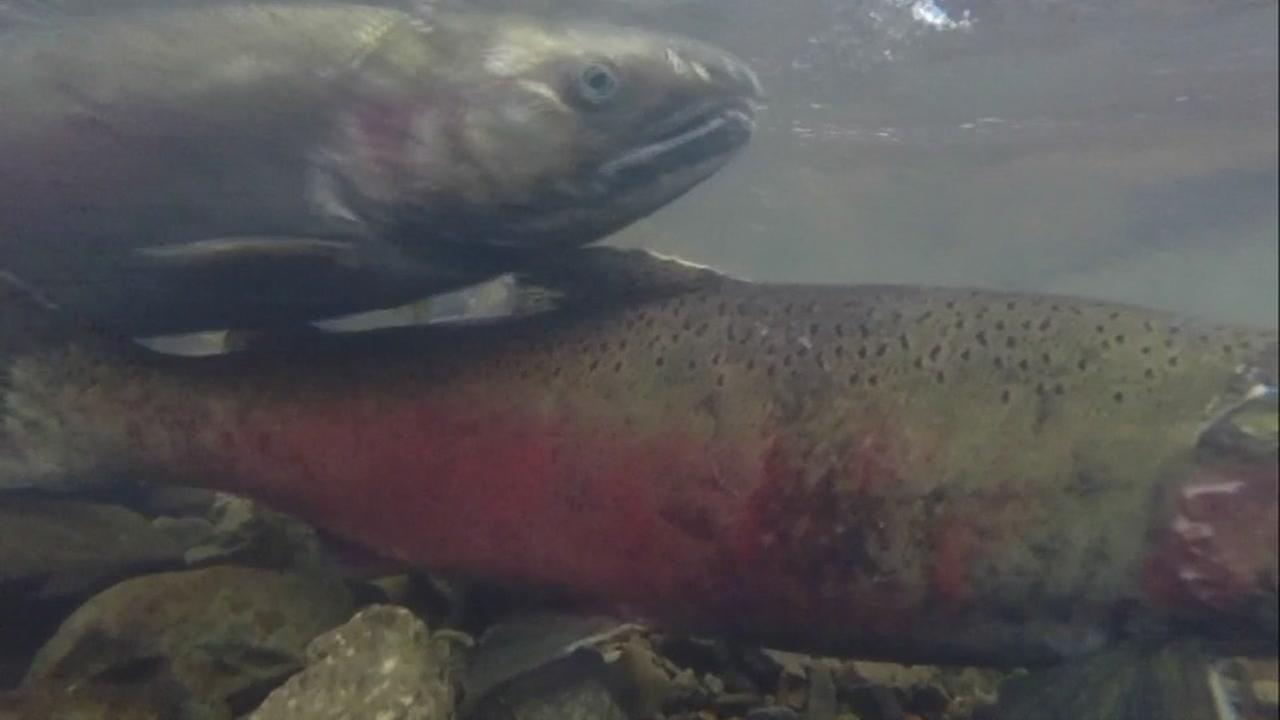 This is an undated image of salmon.