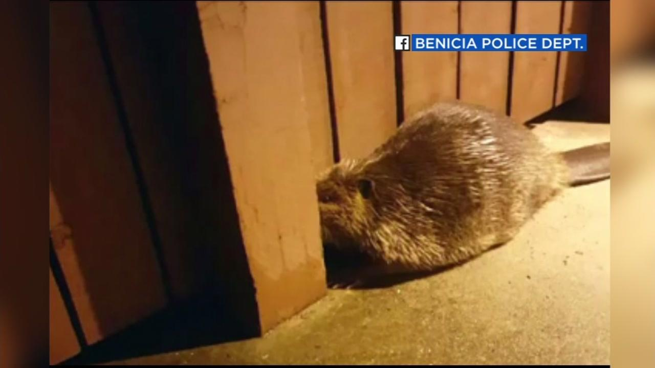 A beaver wandered into a Benicia high school on Jan. 12, 2017.