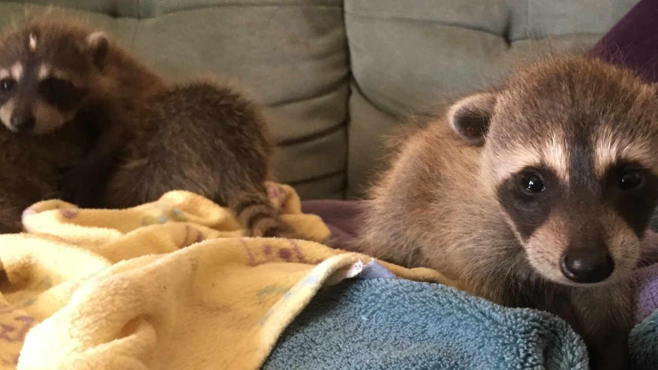 A group of hitchhiking baby raccoons are calling the Oakland Zoo home.