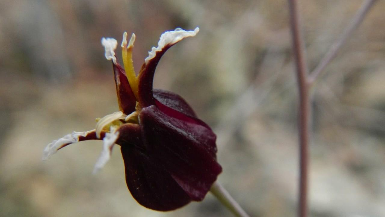 The rare Tiburon jewelflower can be found nowhere else in the world but on the Tiburon peninsula.
