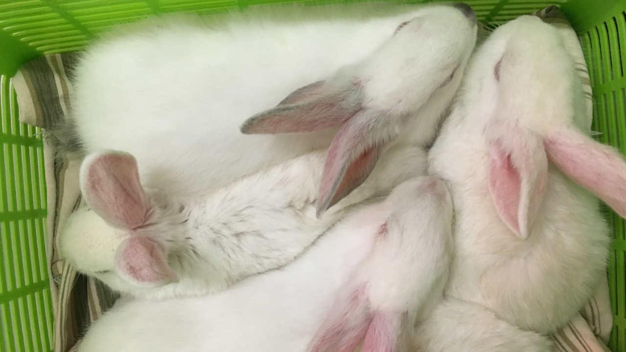 Rescued bunnies are seen in San Francisco in this undated image.