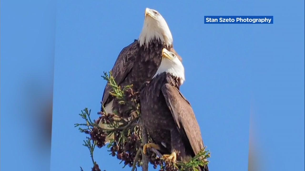 Two bald eagles have taken up residence near Curtner Elementary School in Milpitas, Calif.