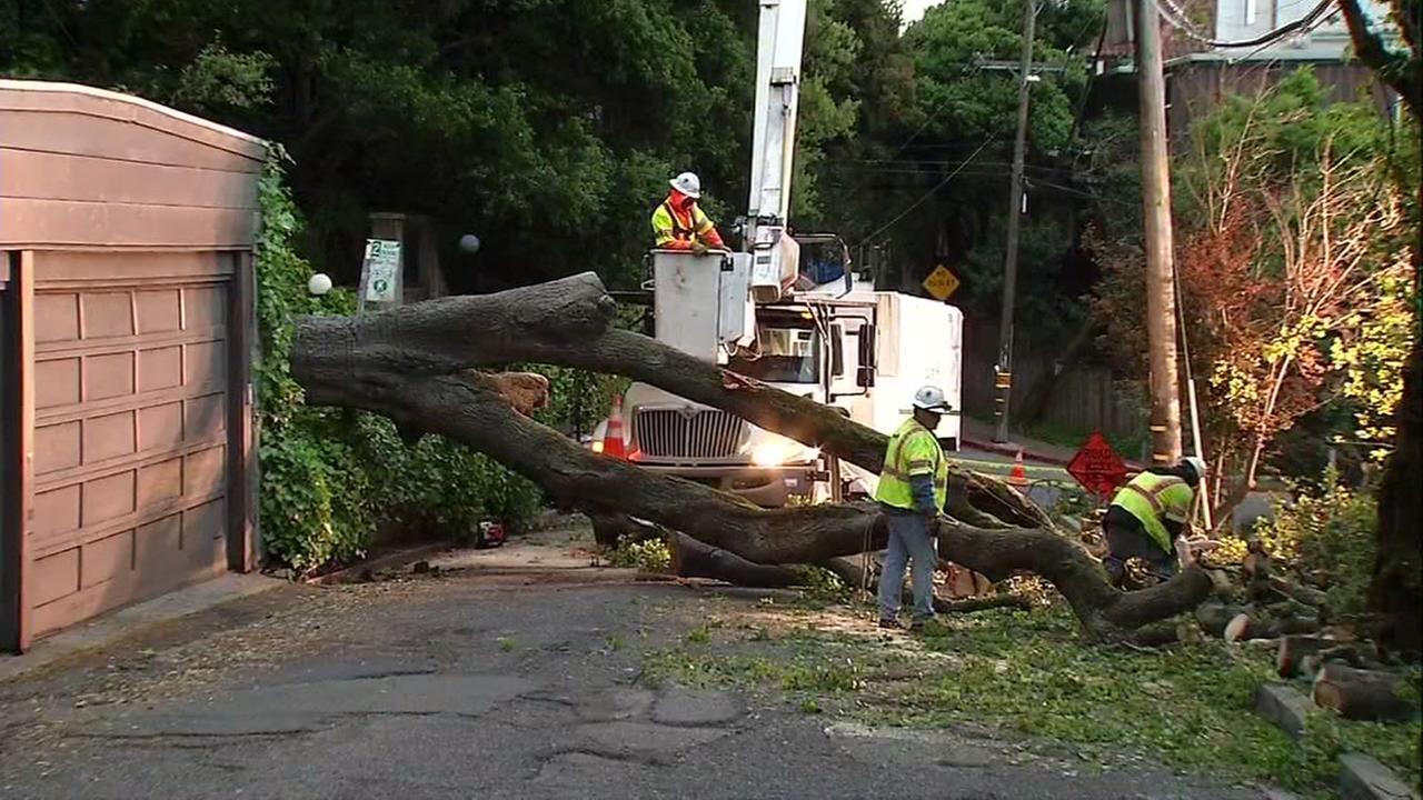 A huge tree fell near Cals Memorial Stadium in Berkeley, Calif. on Sunday, April 9, 2017.