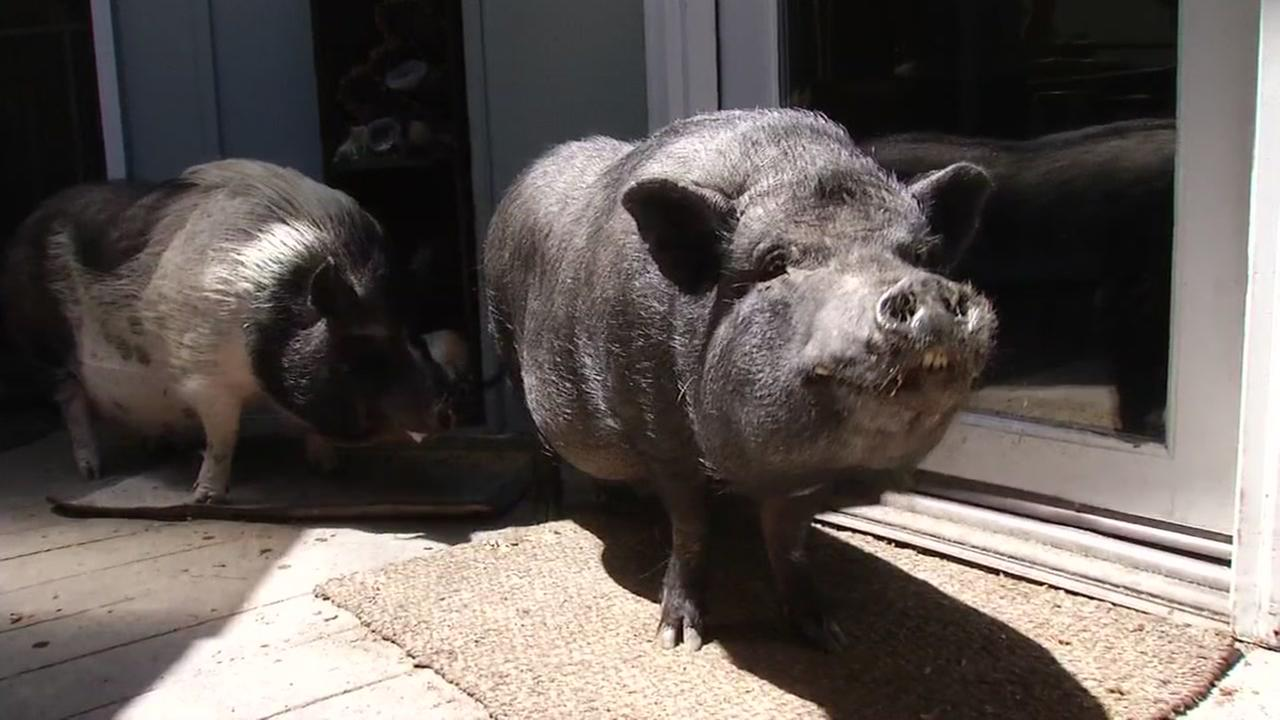 The Christensen familys two pet potbellied pigs, Bricks and Mason, hang on their back porch on Friday, April 28, 2017 in Pleasant Hill, Calif.