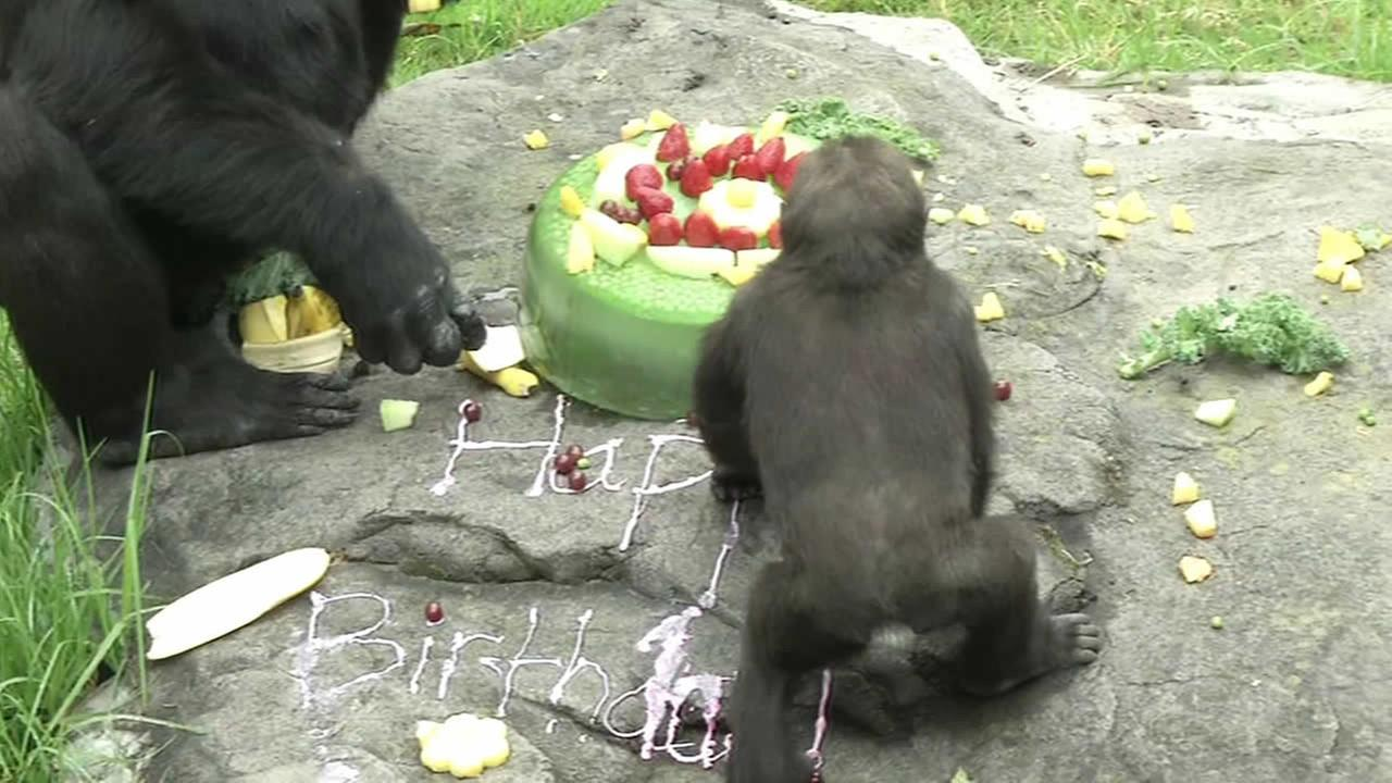 1 Year Old Gorilla Celebrates Birthday At SF Zoo