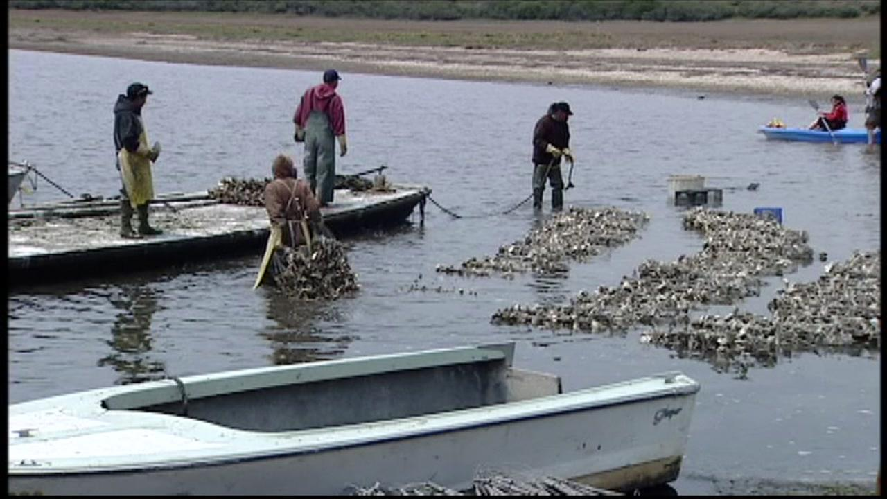 Workers tend to the oyster farms at Drakes Estero at Point Reyes National Seashore in Point Reyes, Calif.