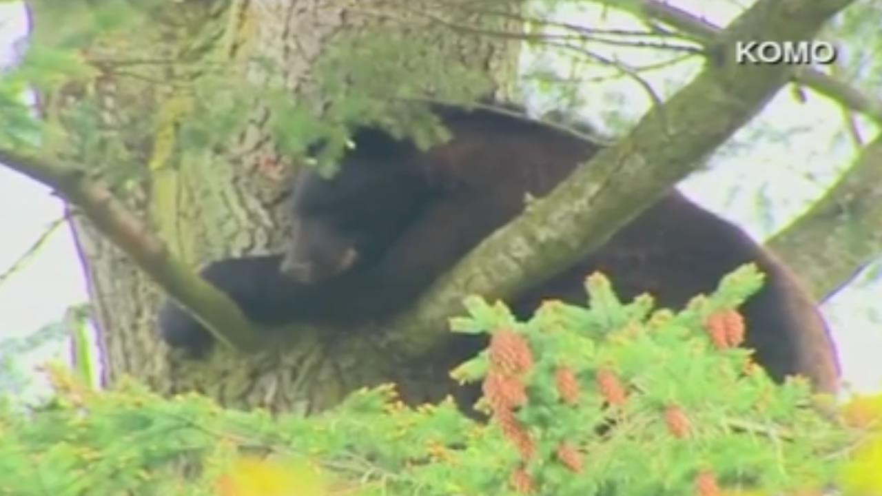 A bear climbed into a tree near an elementary school in Renton, Wash. on Wednesday, May 17, 2017.