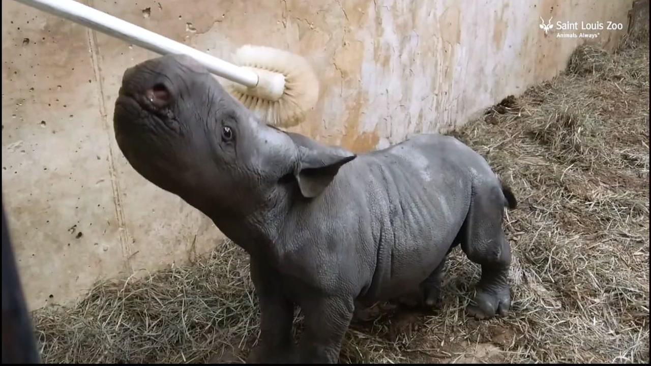 Moyo the baby rhino enjoys his first nose scrub at the St. Louis Zoo.