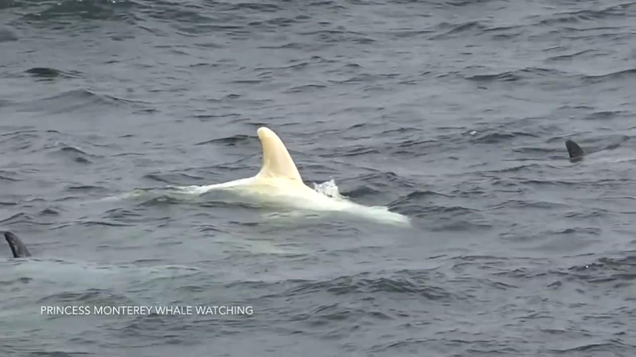 A rare albino baby dolphin was spotted in Monterey, Calif. on Wednesday, June 7, 2017.