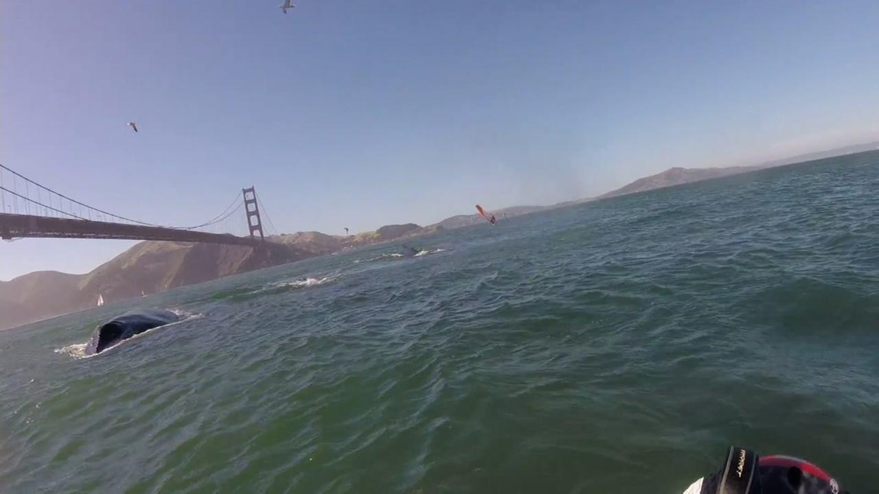 This still image from a video posted to YouTube on Monday, June 19, 2017 shows humpback whales swimming under the Golden Gate Bridge.