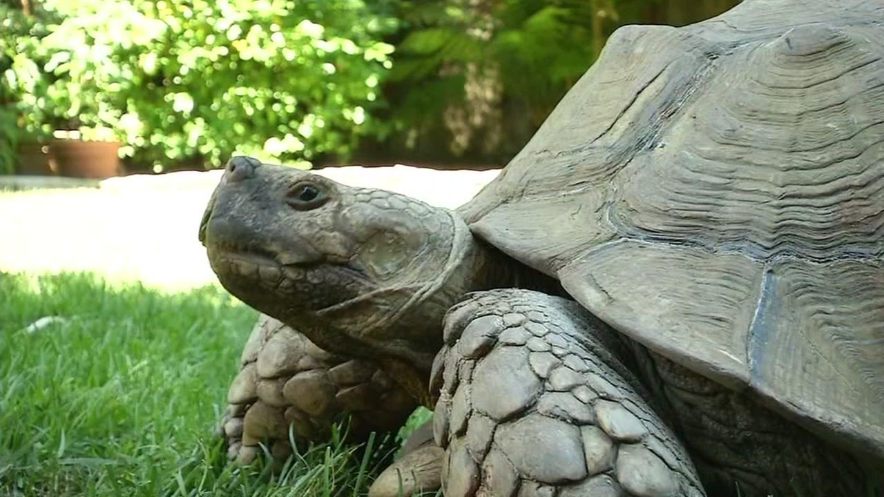 Tortie the Tortoise eats grass at her Castro Valley home on Tuesday, June 27, 2017.
