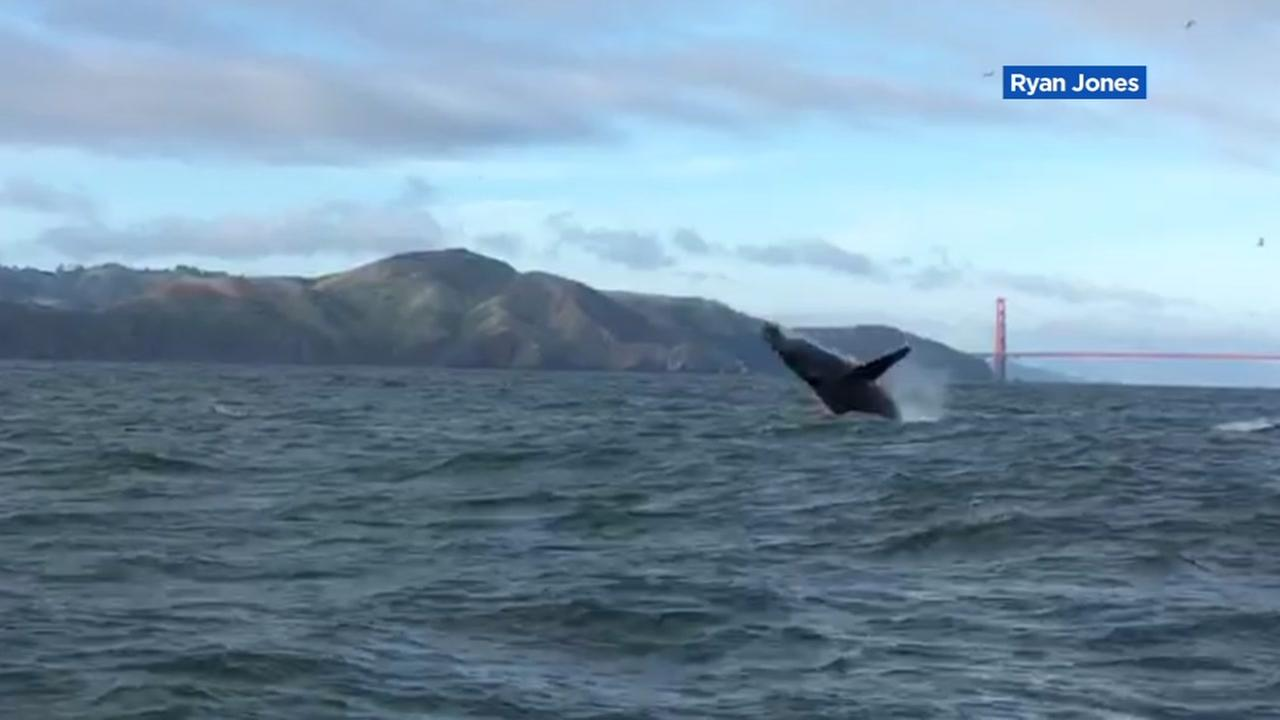 This is an undated image of a whale breaching water near the Golden Gate Bridge in the San Francisco Bay.