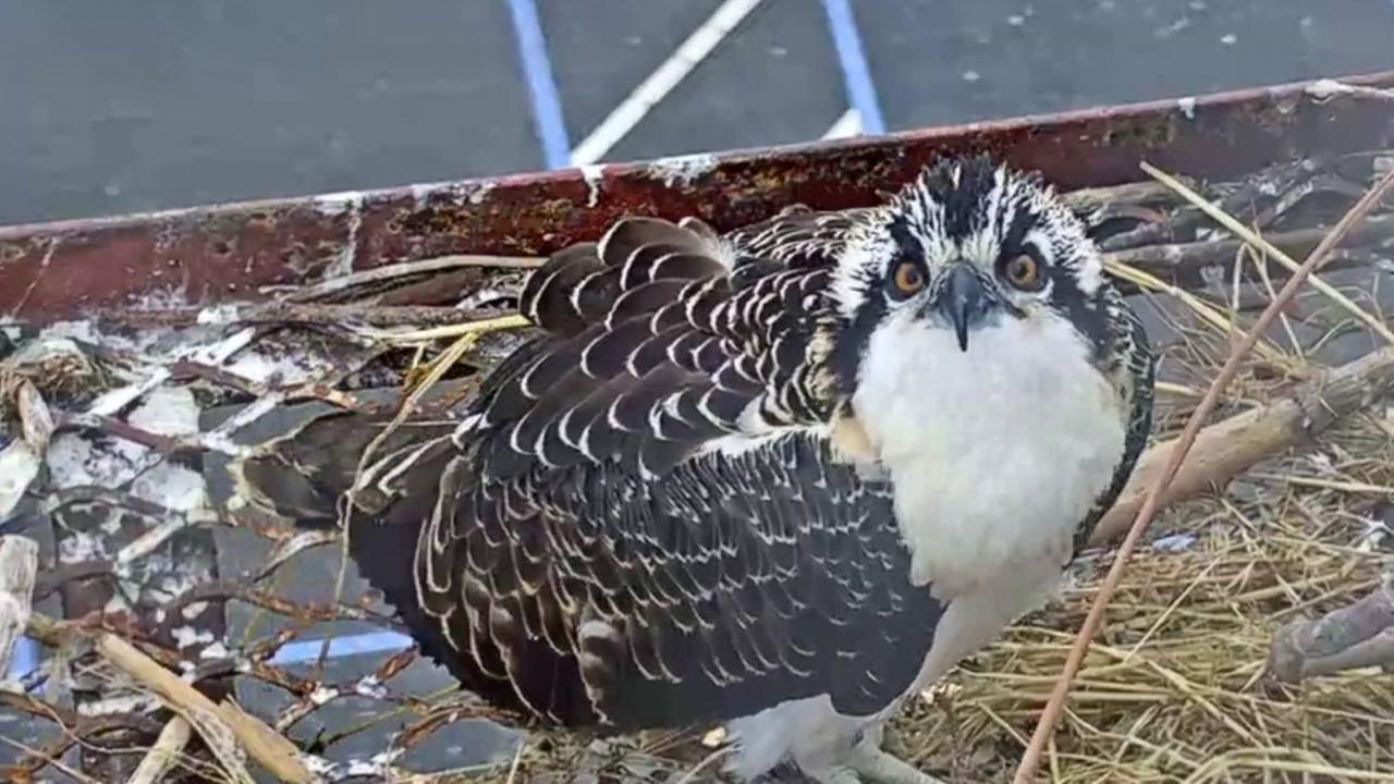 Whirley is pictured on the Golden Gate Audubuon Societys live web cam in Richmond, Calif.