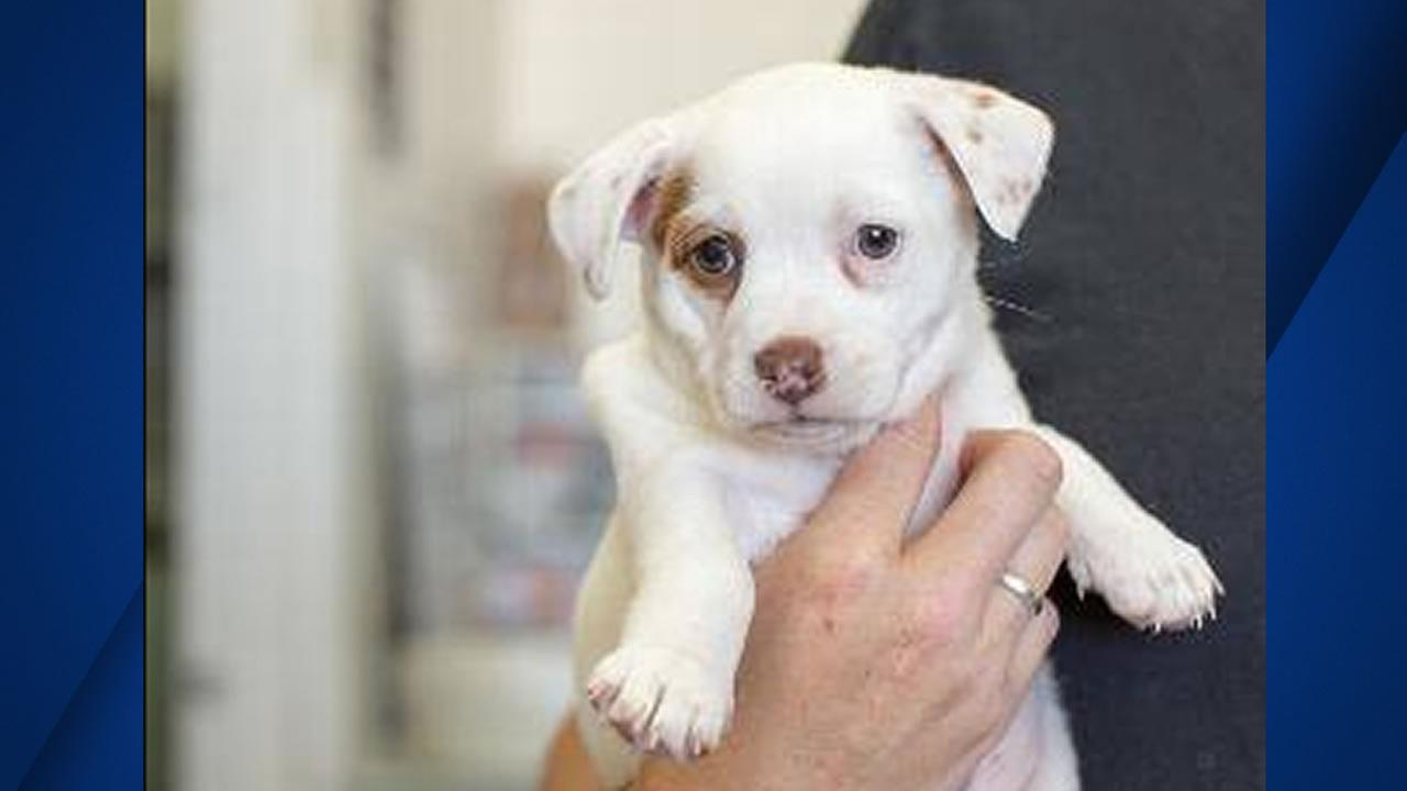 This is an image of May the puppy who went missing during an adoption event at Terrapin Crossroads.