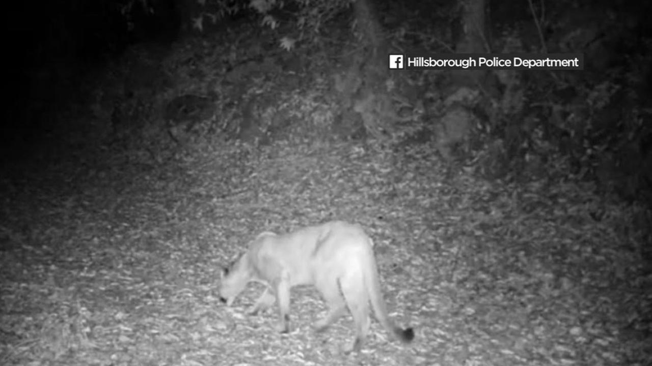 A mountain lion is seen in this undated image from Hillsborough, Calif.